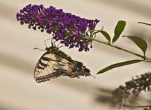 吃颠倒--提供在小花的蝴蝶 库存照片