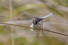 吃飞蛾的公Keeled漏杓蜻蜓(Orthetrum coerulescens) 图库摄影