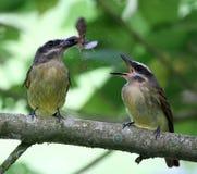 吃飞蛾的4只鸟 免版税库存照片
