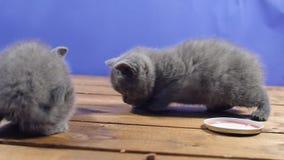 吃食物小猫 影视素材
