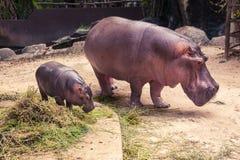 吃食物的小河马和妈妈 免版税库存图片