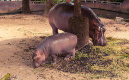 吃食物的小河马和妈妈 免版税库存照片