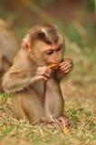 吃食物的少许密林猴子 免版税库存图片