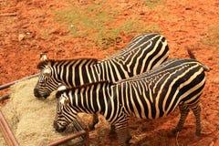 吃食物的斑马 免版税库存照片