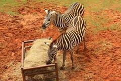 吃食物的斑马 免版税库存图片