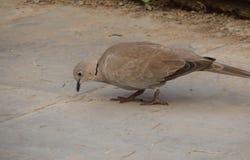 吃食物的欧亚抓住衣领口的鸠鸟 图库摄影