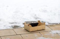 吃食物的欧亚黑鹂涌入了一个木箱在冬天 保护和爱对自然概念 文本的空间 免版税库存图片