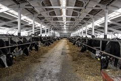 吃食物的母牛在奶牛场 免版税库存图片