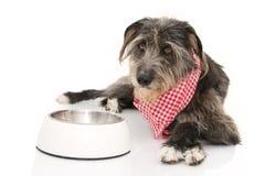 吃食物的滑稽的狗 佩带一块方格的餐巾的护羊狗躺下在一个空的碗旁边 反对白色的被隔绝的射击 免版税图库摄影