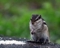 吃食物的灰鼠 库存图片