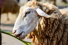 吃食物的蓬松绵羊 免版税库存照片
