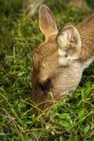 吃食物的鹿 图库摄影