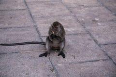吃食物的猴子 免版税库存图片