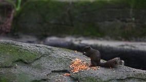 吃食物的Pallas的灰鼠在森林里 影视素材