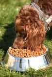 吃食物西班牙猎狗的棕色斗鸡家 免版税库存图片