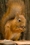 吃饥饿的螺母灰鼠 免版税库存照片
