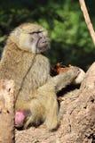 吃香肠水果树Kigelia的橄榄色的狒狒 免版税库存图片