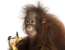 吃香蕉的一只幼小Bornean猩猩的特写镜头 库存照片