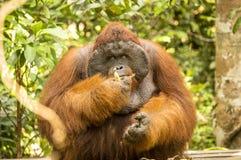 吃香蕉的大公猩猩 库存图片