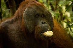 吃香蕉的大公猩猩 免版税库存照片