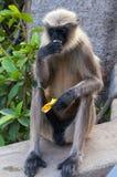 吃香蕉的灰色叶猴在亨比 免版税图库摄影