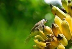 吃香蕉的鸟 图库摄影
