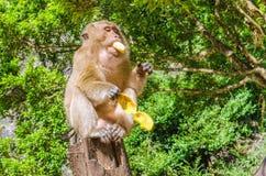 吃香蕉的猴子在密林 库存图片