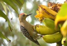 吃香蕉的Hoffmann的啄木鸟 库存照片