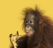 吃香蕉,类人猿pygmaeus的一只幼小Bornean猩猩的特写镜头 免版税图库摄影