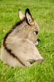 吃驹的驴 库存图片