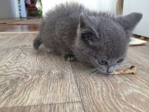 吃骨头的小猫 库存照片