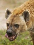 吃鬣狗 库存照片