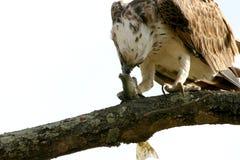 吃鱼白鹭的羽毛 库存图片