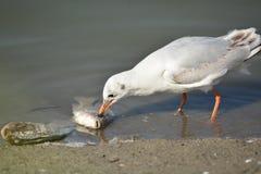 吃鱼的海鸥 免版税库存图片