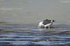 吃鱼的海鸥 免版税库存照片