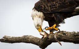 吃鱼的老鹰 免版税库存照片
