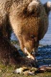 吃鱼的阿拉斯加年轻布朗北美灰熊 免版税库存照片