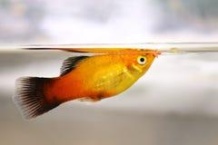 吃鱼从服务哺养的水族馆鱼的新月鱼剥落食物 免版税库存照片