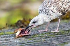 吃鱼头的海鸥 免版税库存照片