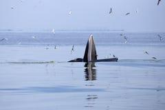 吃鲥鱼鱼的鲸鱼(鲸属brydei) 免版税库存照片