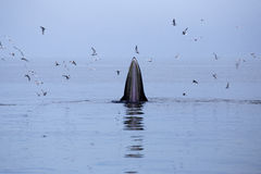 吃鲥鱼鱼的鲸鱼(鲸属brydei) 库存图片
