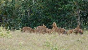 吃鹿的亚洲豺狗 影视素材