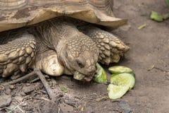 吃黄瓜的特写镜头非洲被激励的草龟 免版税库存图片