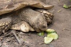 吃黄瓜的特写镜头非洲被激励的草龟 库存图片
