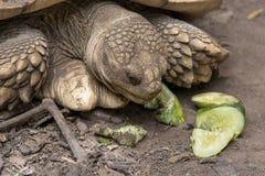 吃黄瓜的非洲被激励的草龟的关闭 库存图片