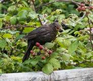 吃黑莓的黑鹂 库存照片