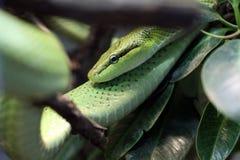 吃鼠的蛇 免版税库存图片