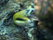 吃鼠的蛇 免版税图库摄影