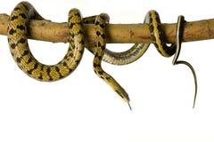 吃鼠的蛇 免版税库存照片