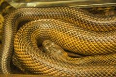 吃鼠的蛇 图库摄影